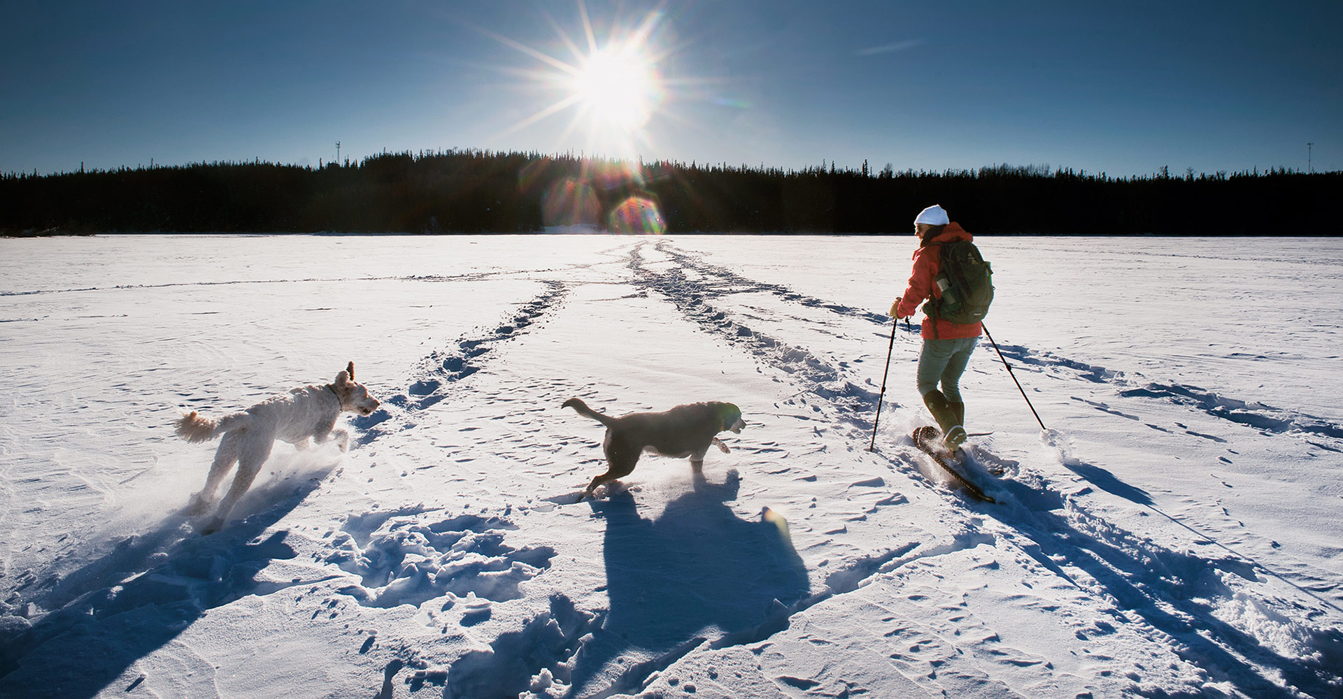 snowshoe dogs