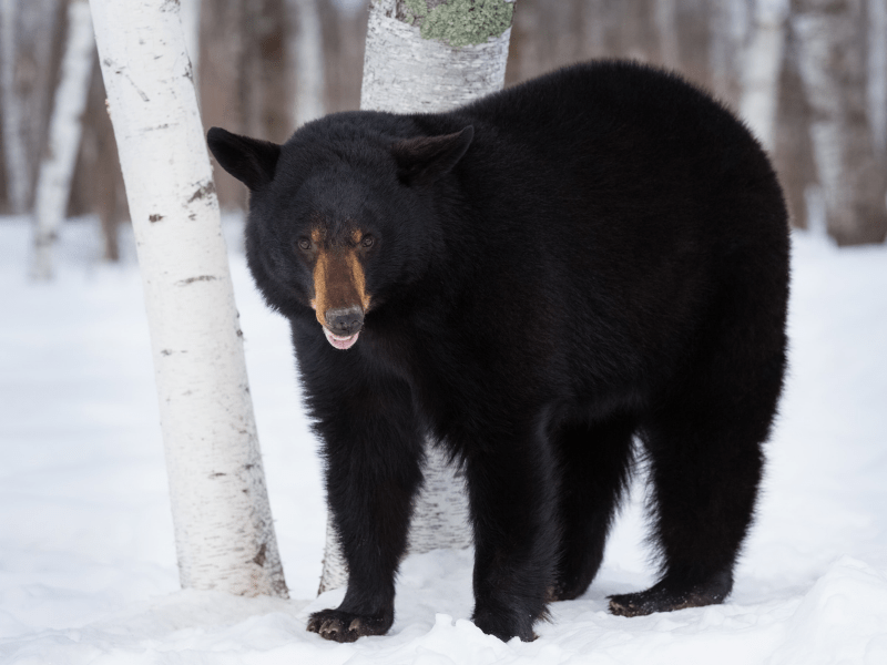 Black bear standing in front of a tree in the snow