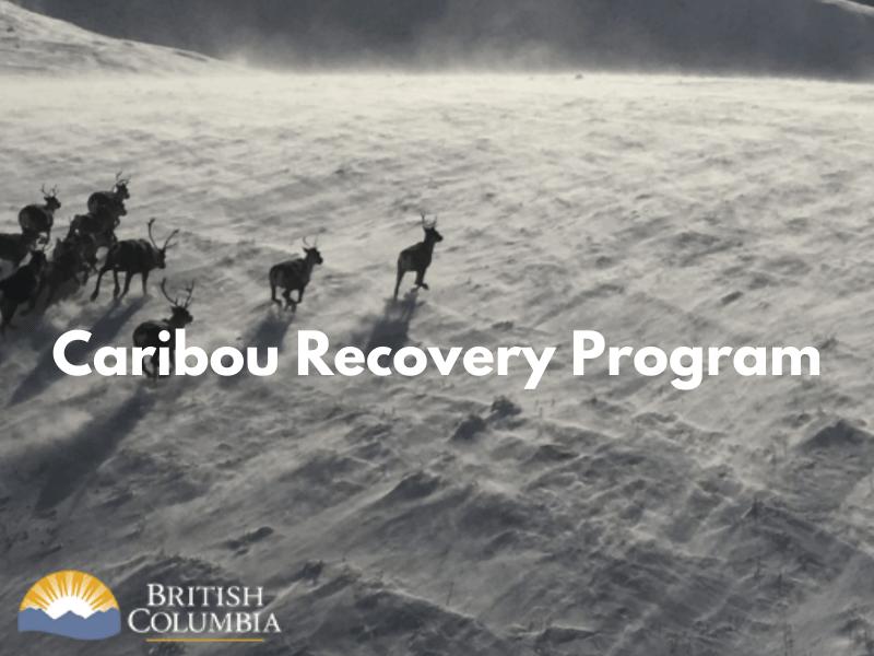 Caribou Recovery Program
